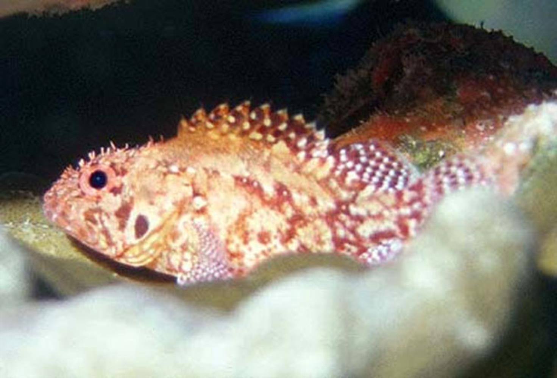 Rainbow Scorpionfish