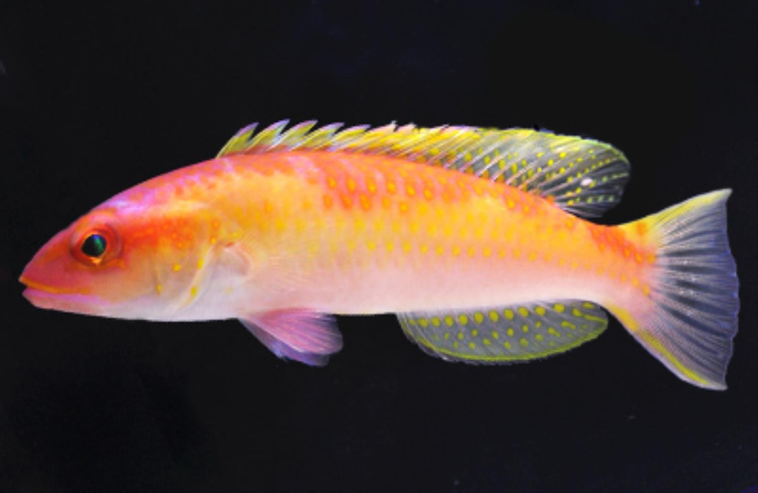 Red Hogfish