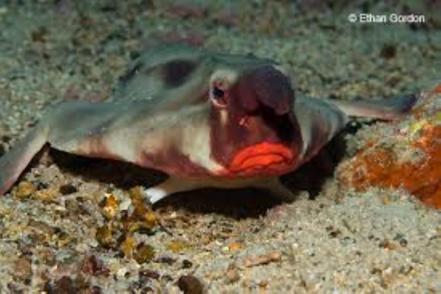 Red-Lipped/Galapagos Batfish