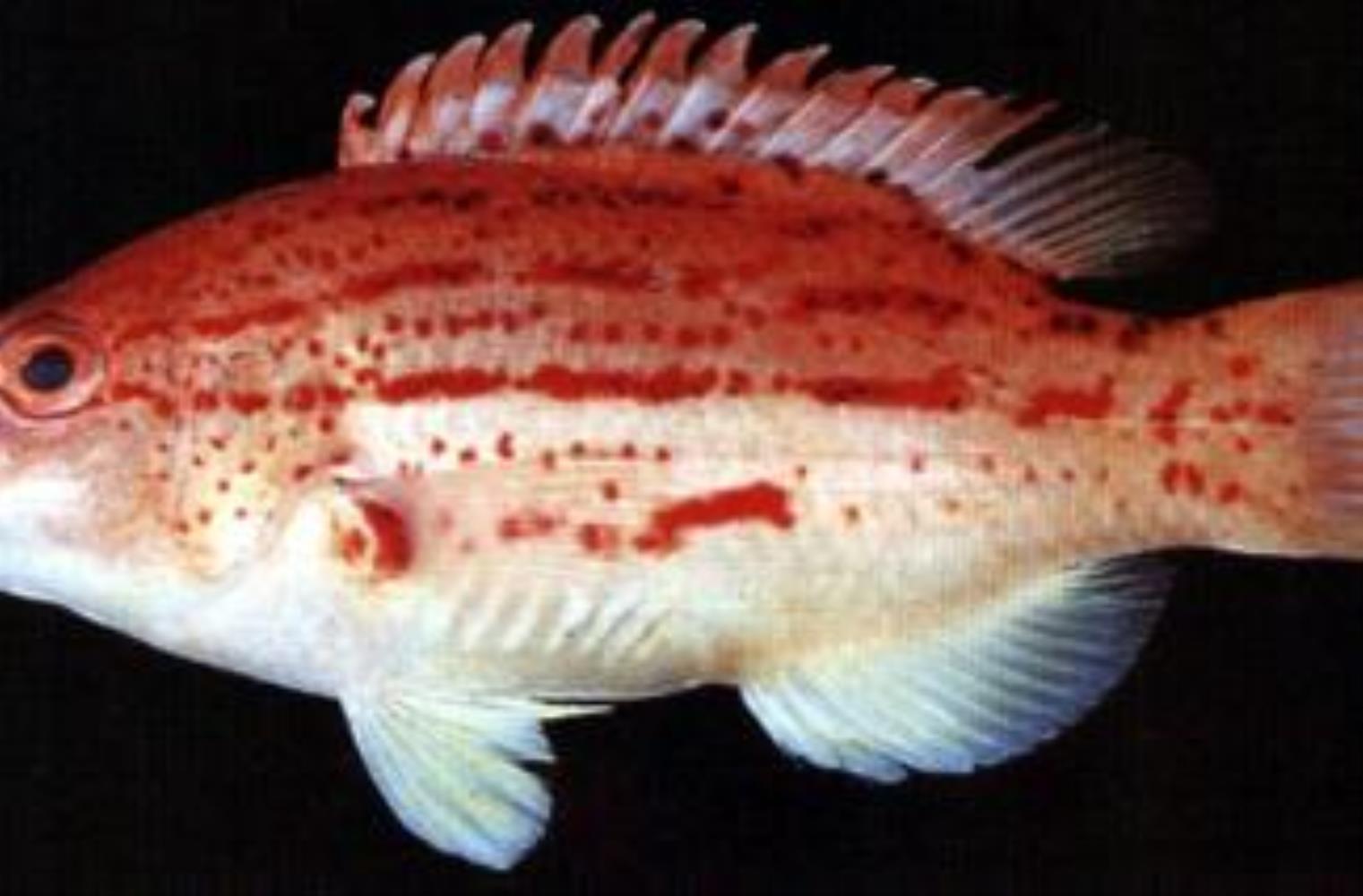Red-sashed Hogfish