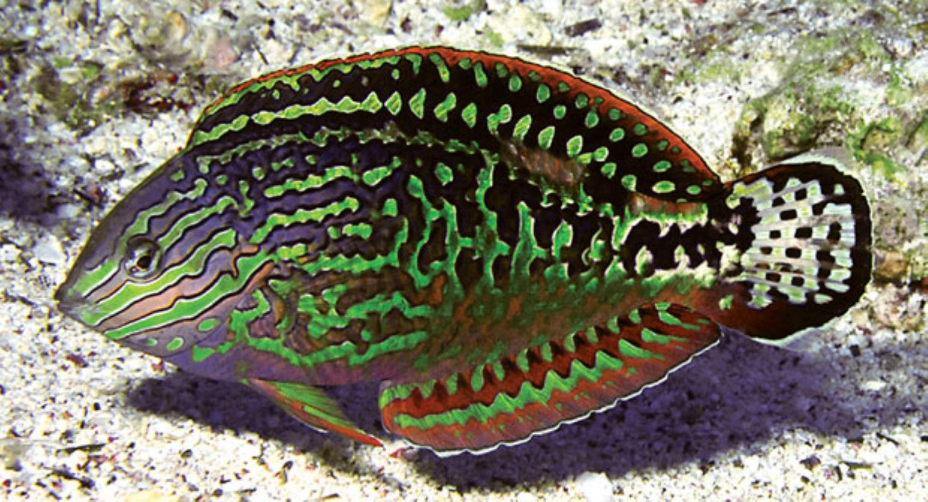 Red Sea Leopard Wrasse
