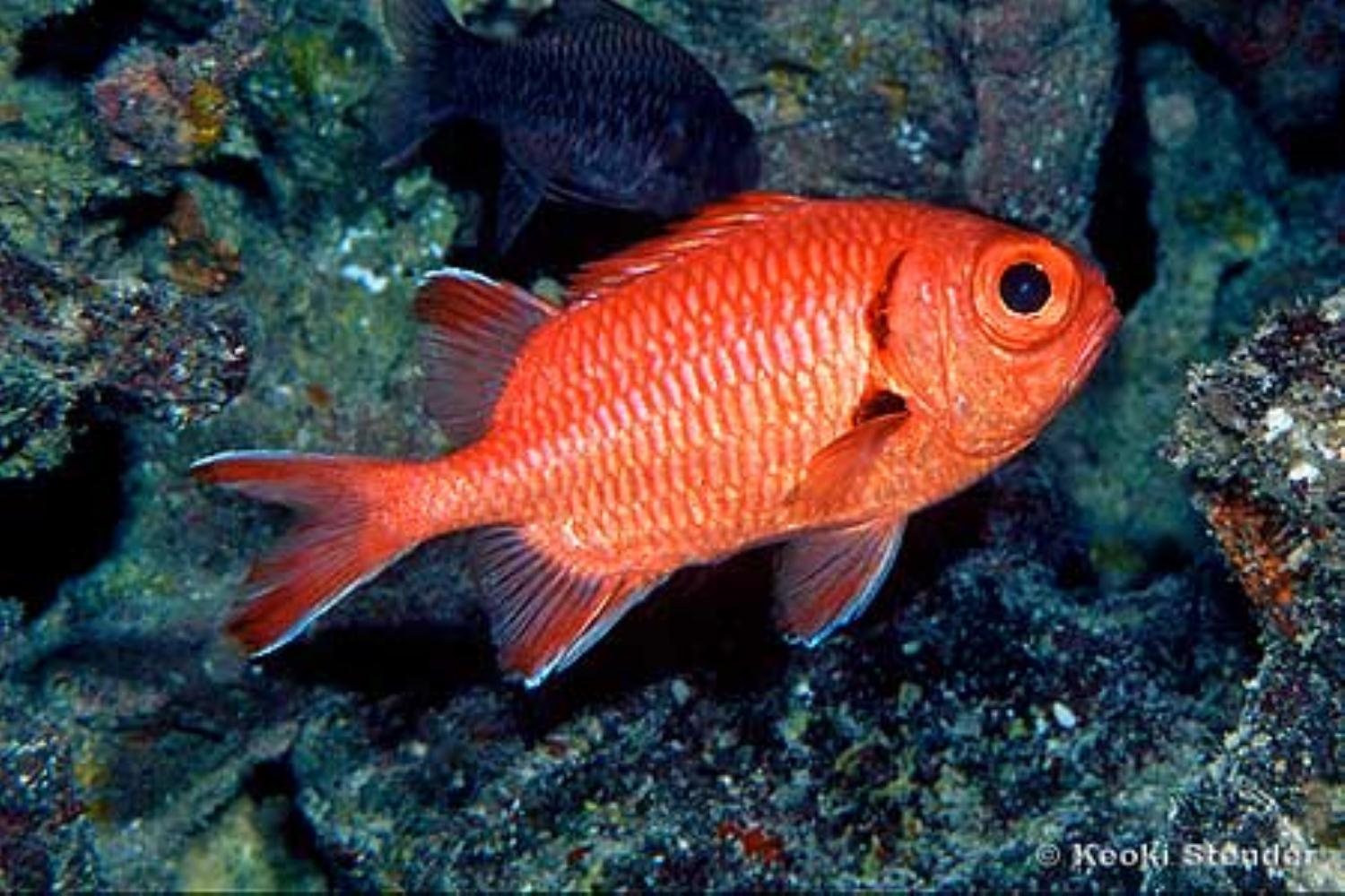 Red soldierfish information and picture sea animals for Red saltwater fish