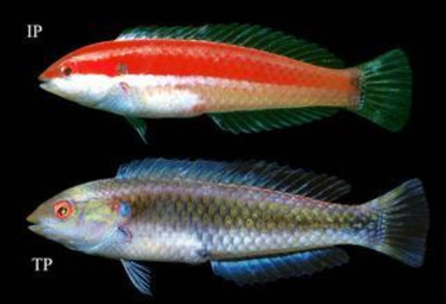 Red-striped Wrasse