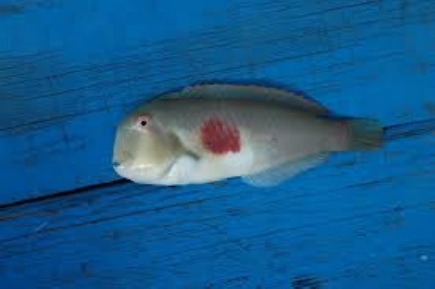 Redblotch Razorfish