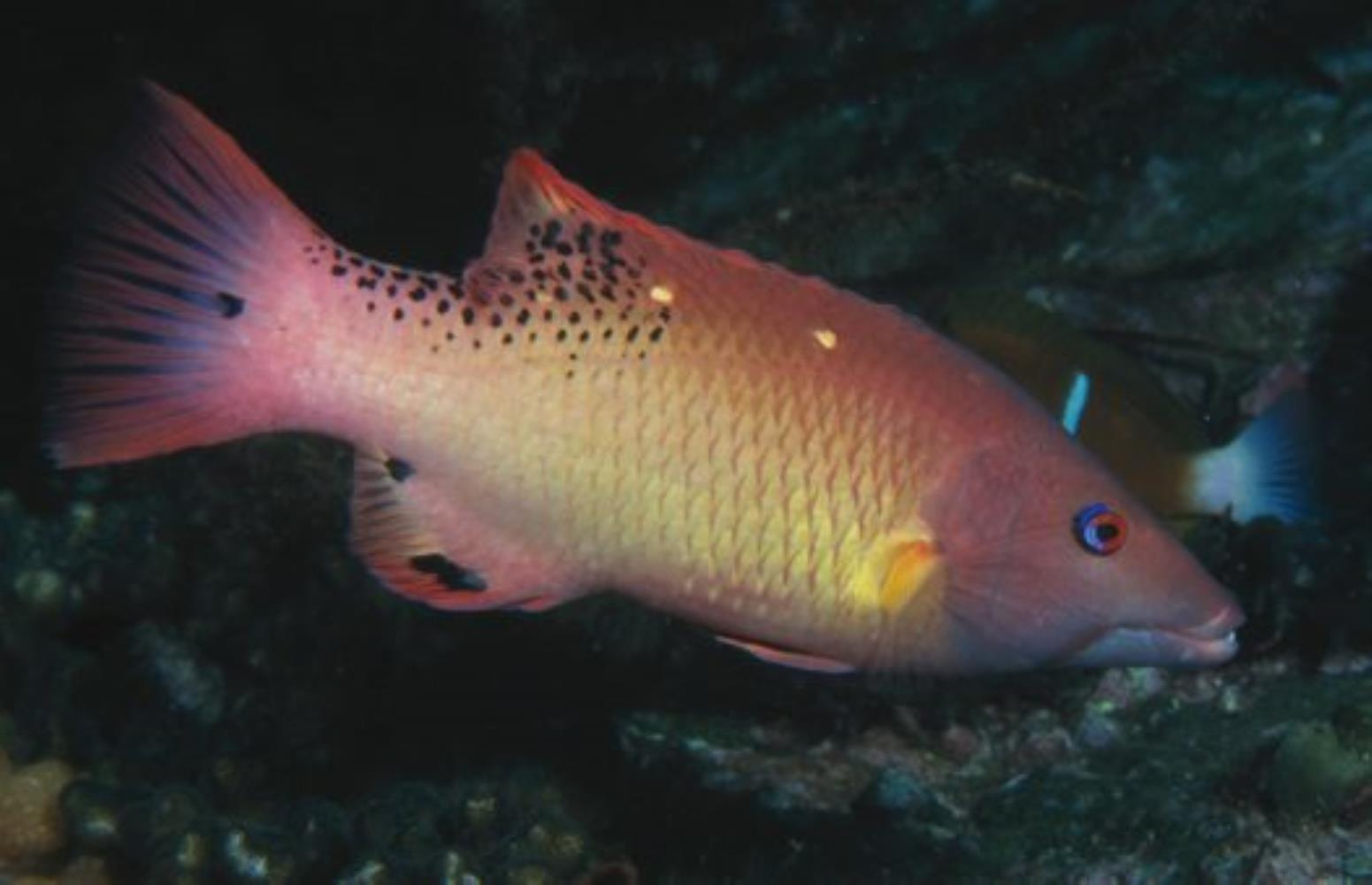 Redfin Hogfish