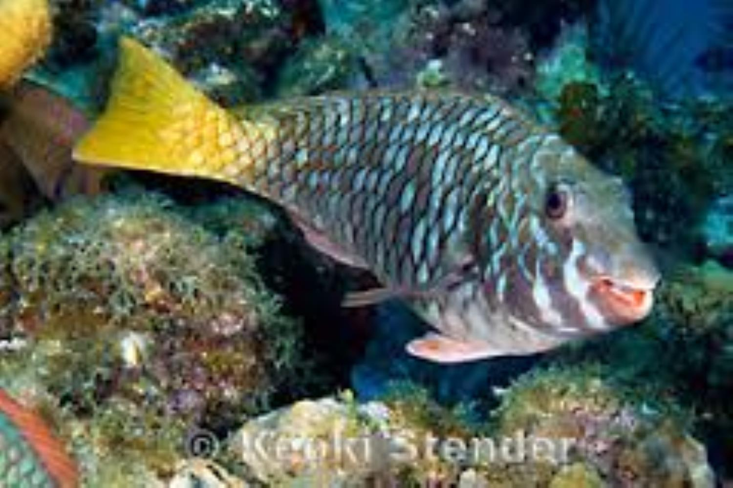 Redfin Parrotfish