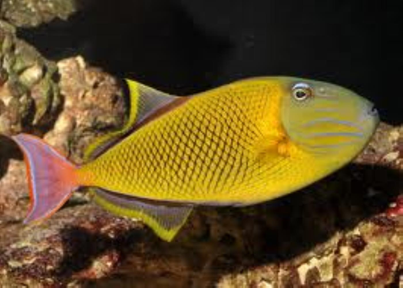 Redtail Triggerfish