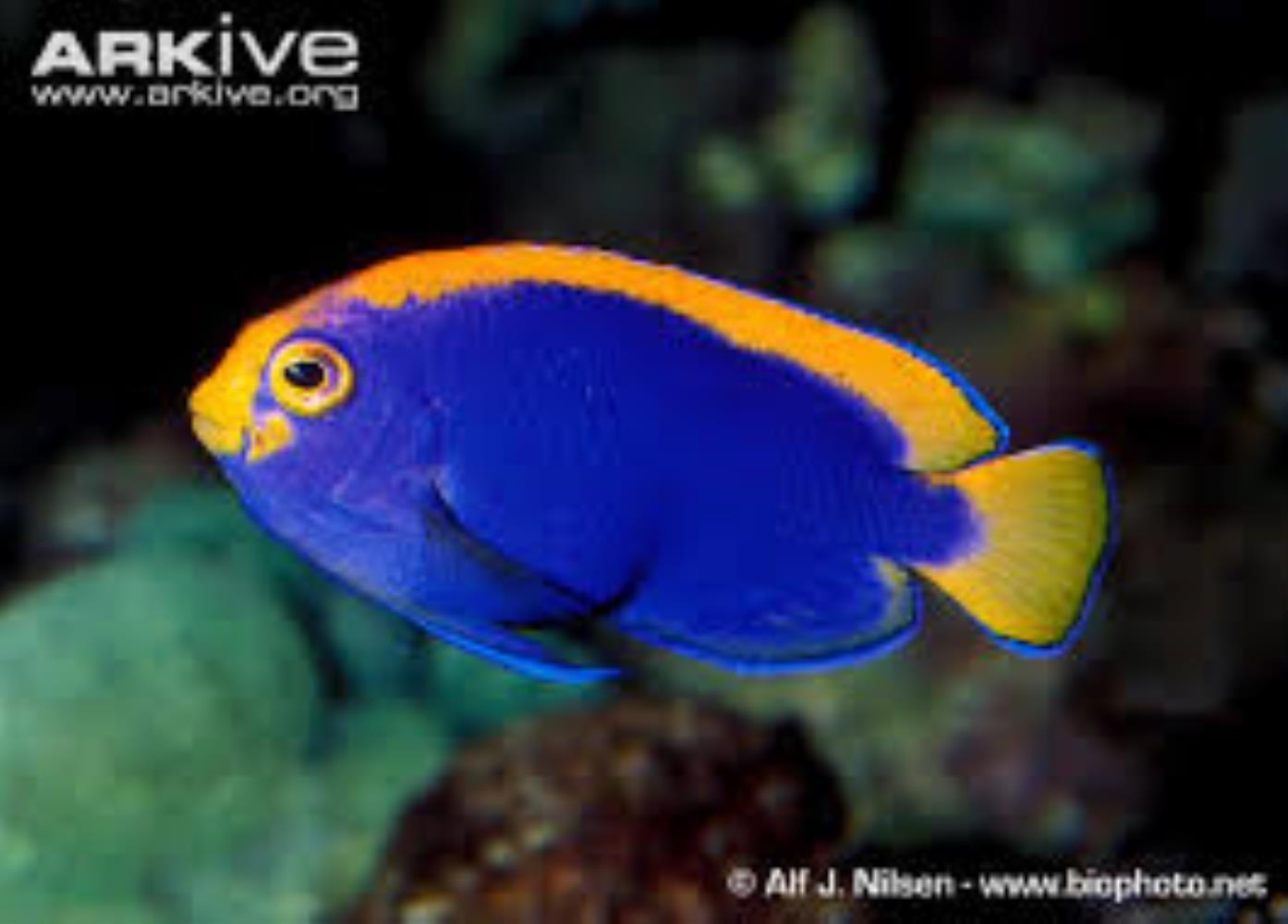 Resplendent Angelfish