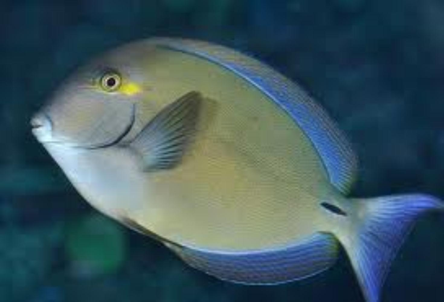 Ringtailed surgeonfish