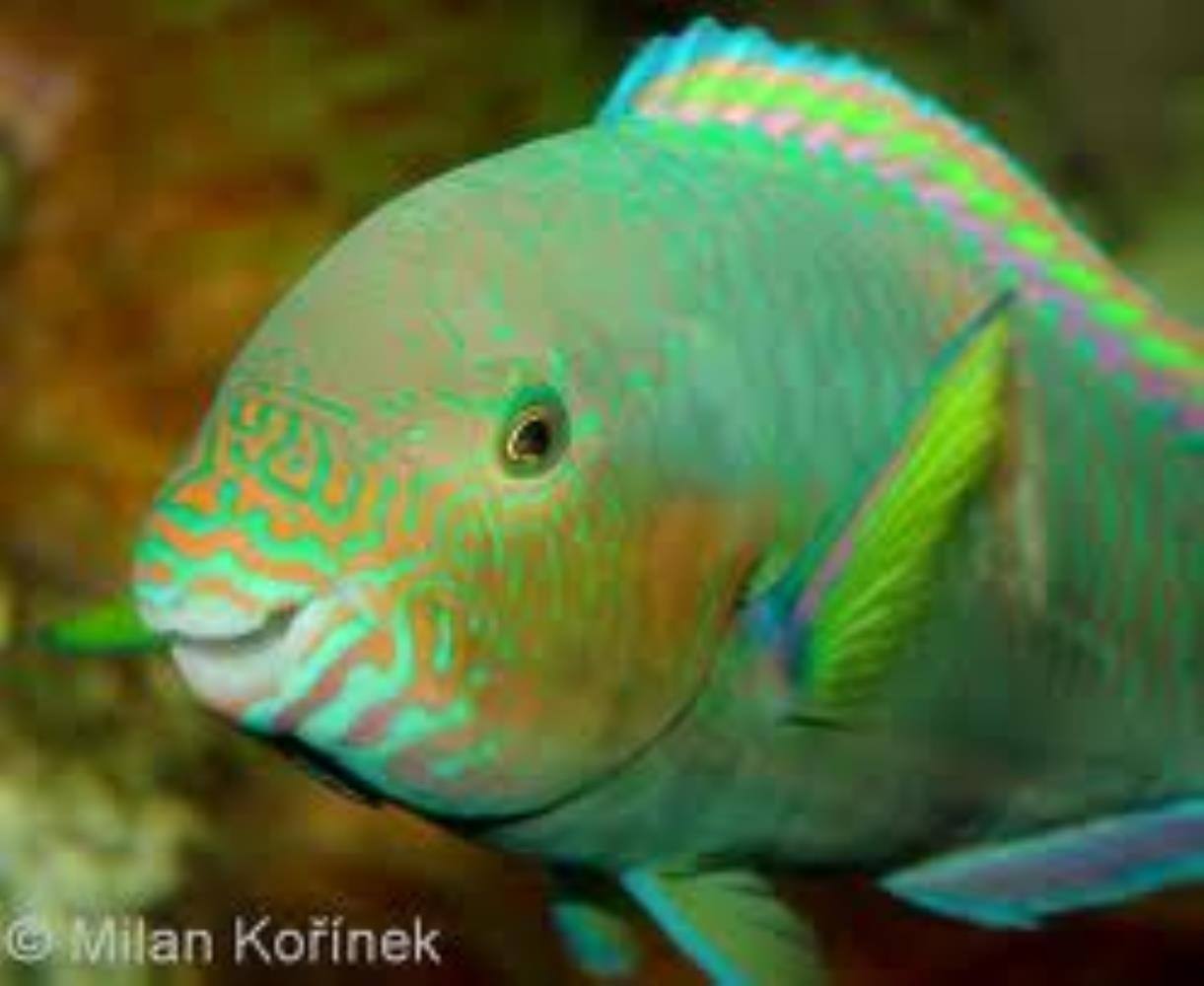 Rivulated Parrotfish