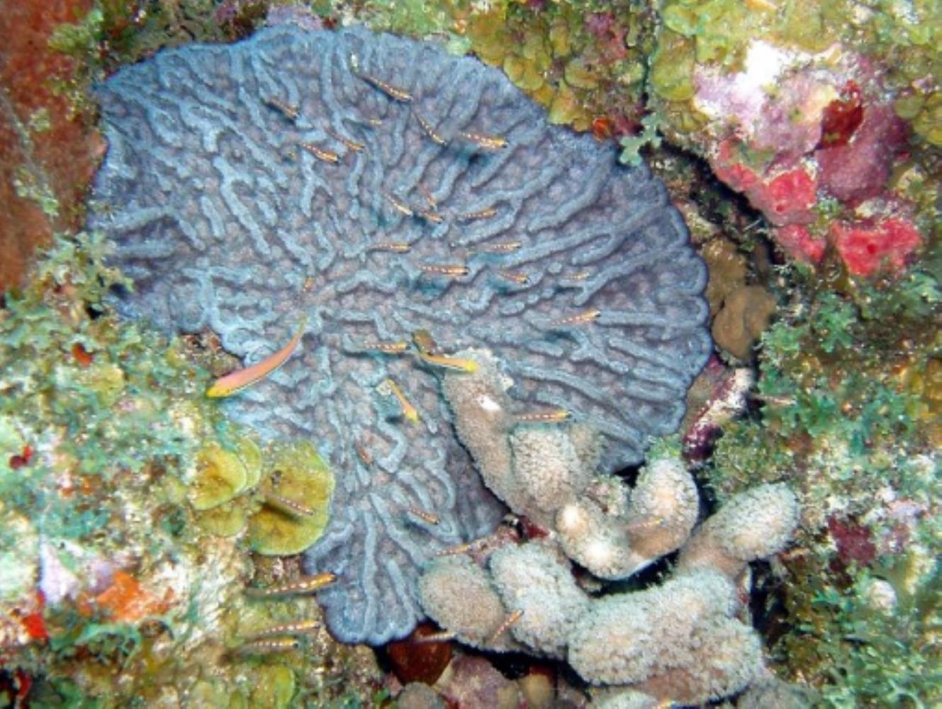 Rough Cactus Coral