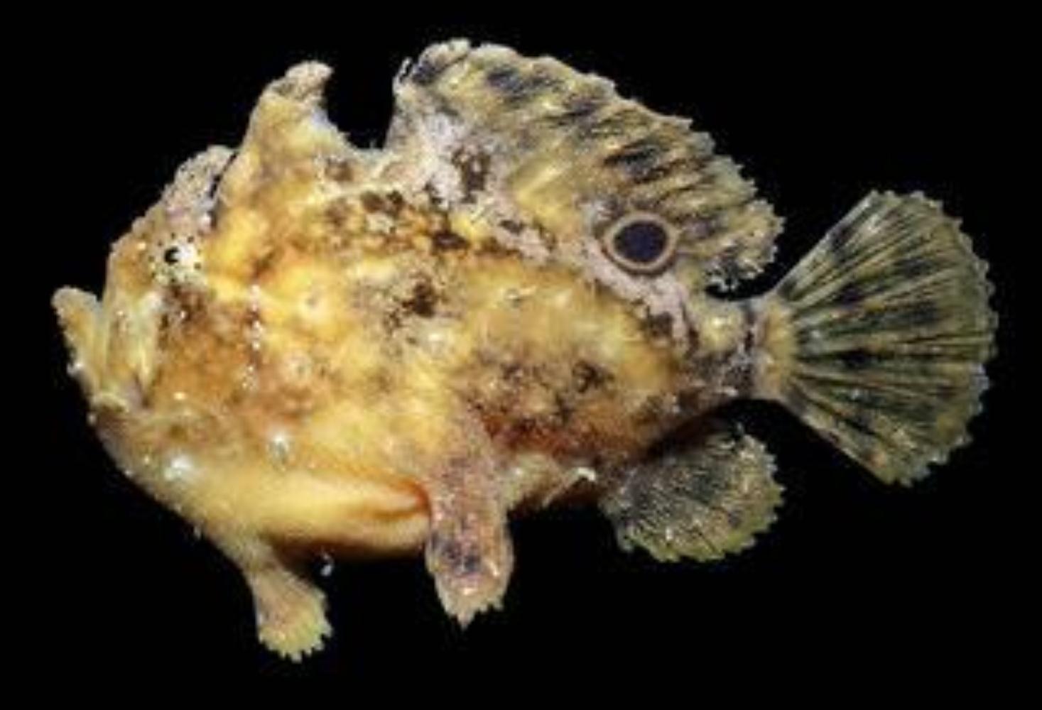 Roughbar Frogfish