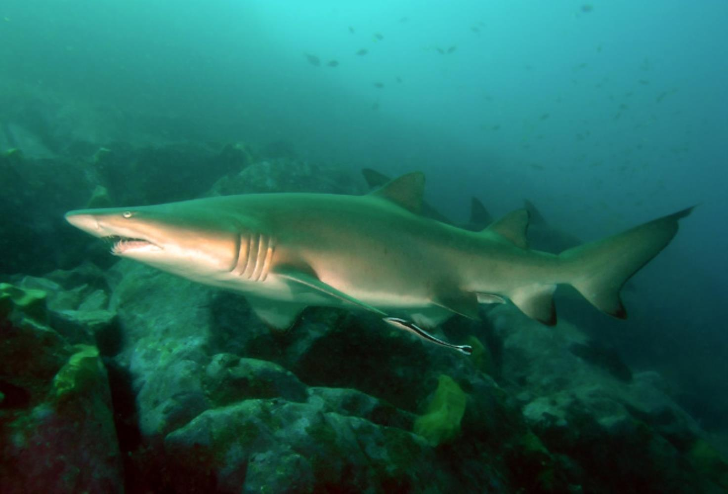 Sand Tiger/Grey Nurse Shark