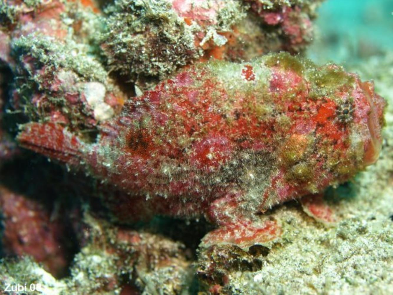 Scarlet Frogfish