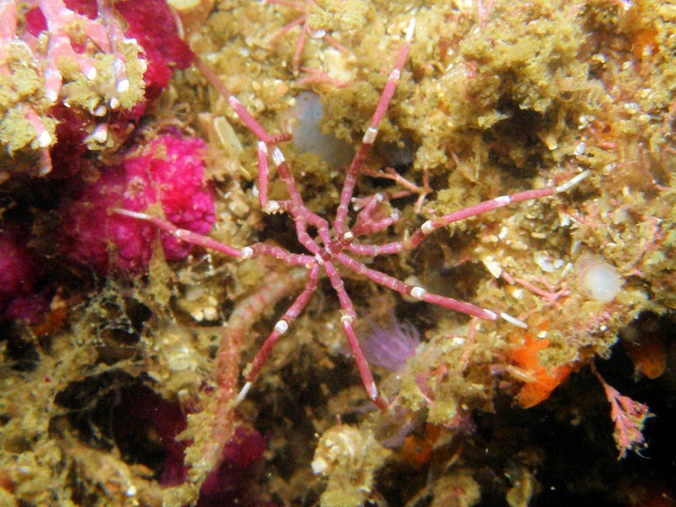 Scarlet sea spider