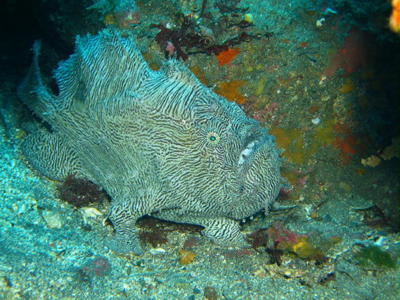 Scripted Frogfish