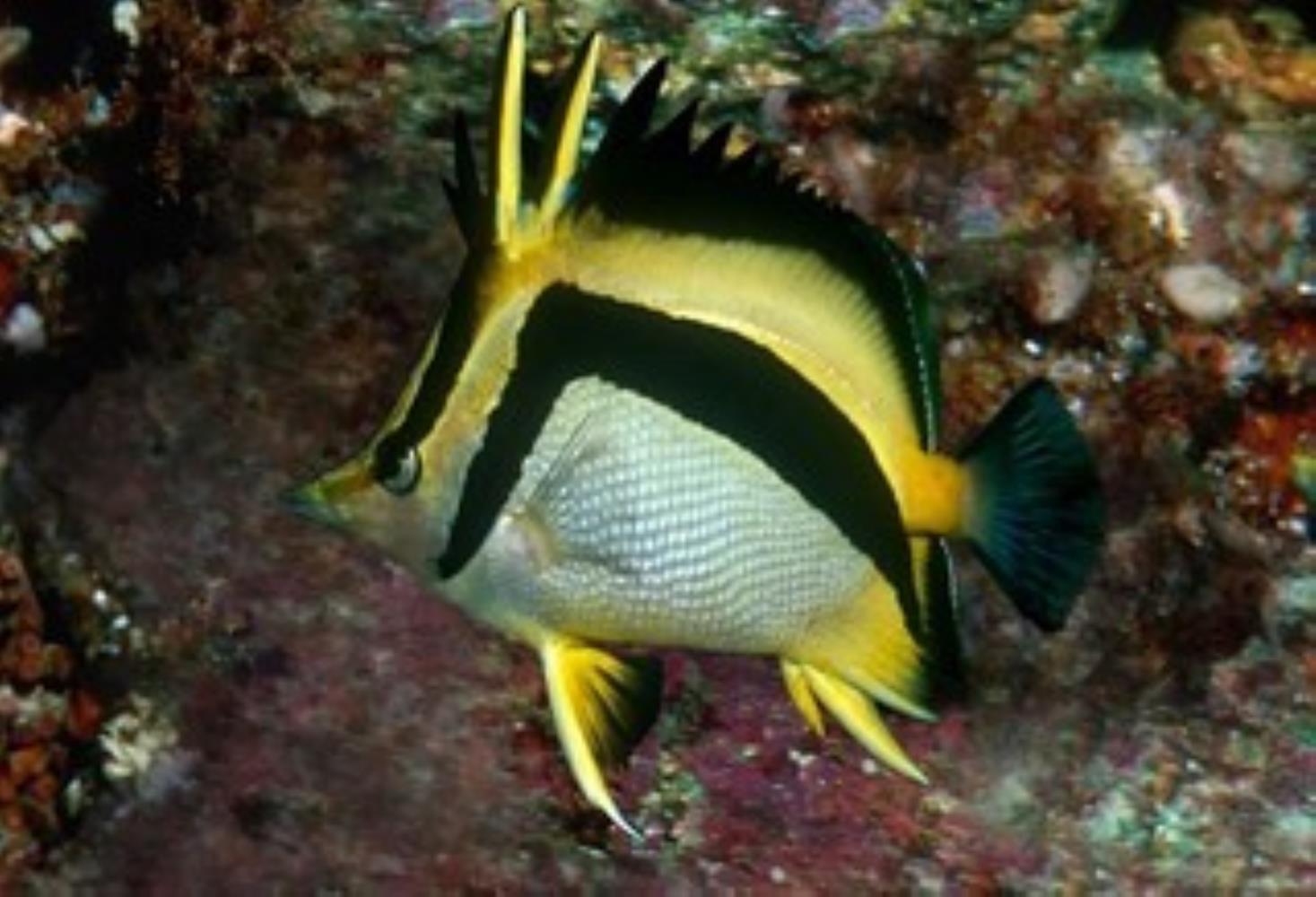 Scythemarked Butterflyfish