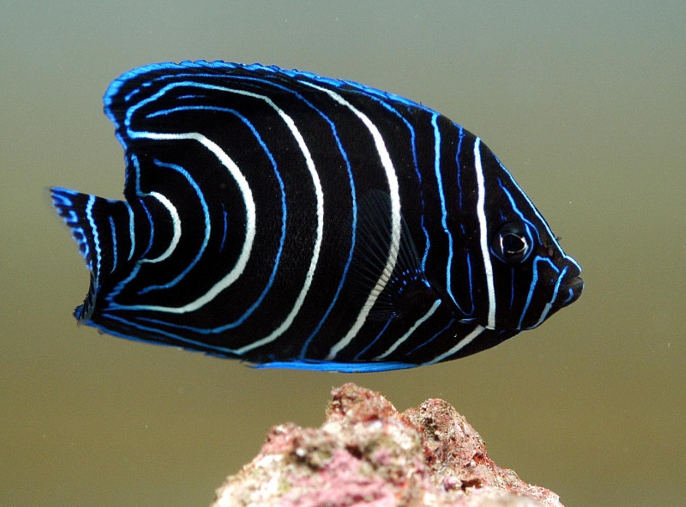 Semicircle Angelfish (Juvenile)