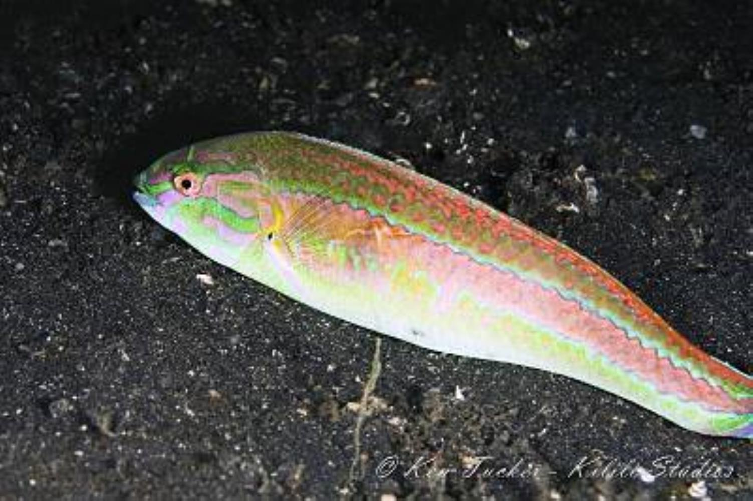 Shoulder-spot Wrasse