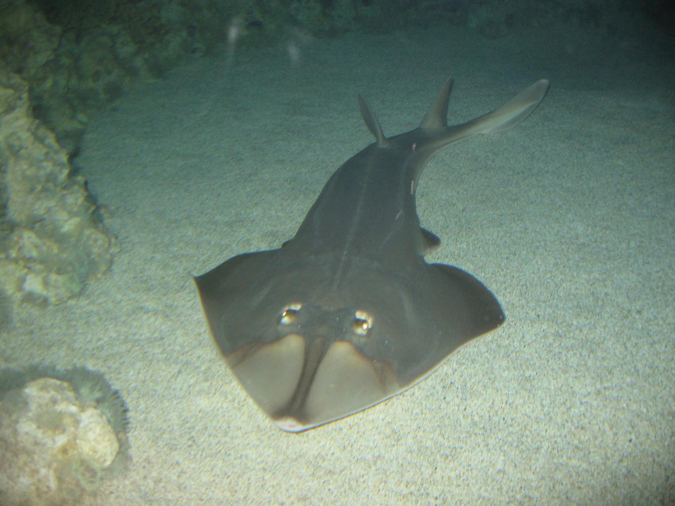 Shovelnose Ray (Guitarfish)
