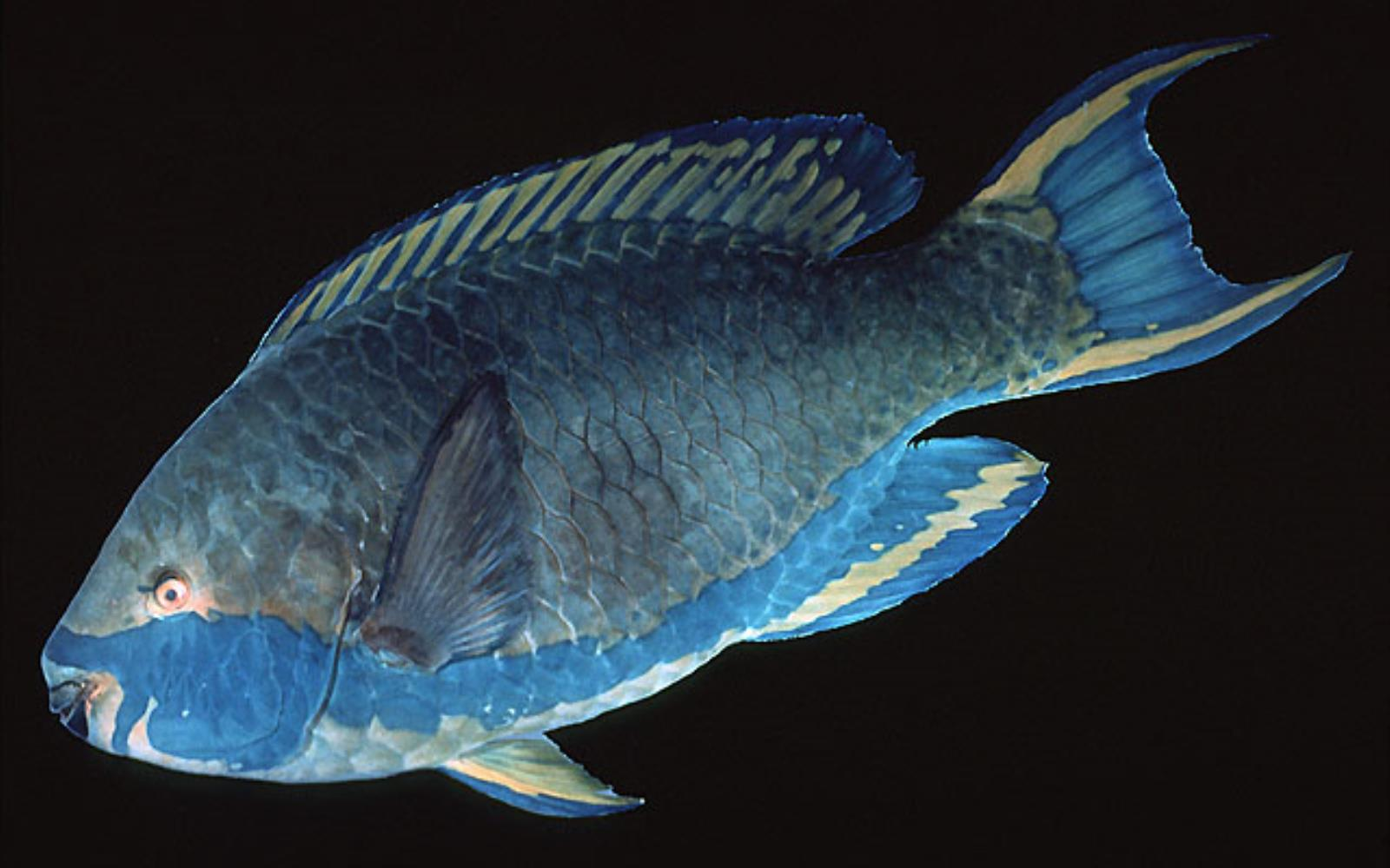 Sicklefin Parrotfish