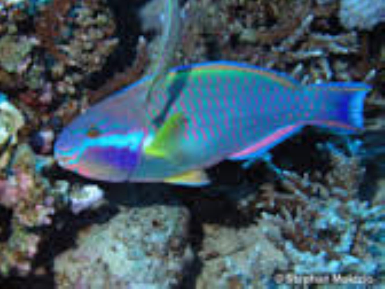 Sinai Parrotfish