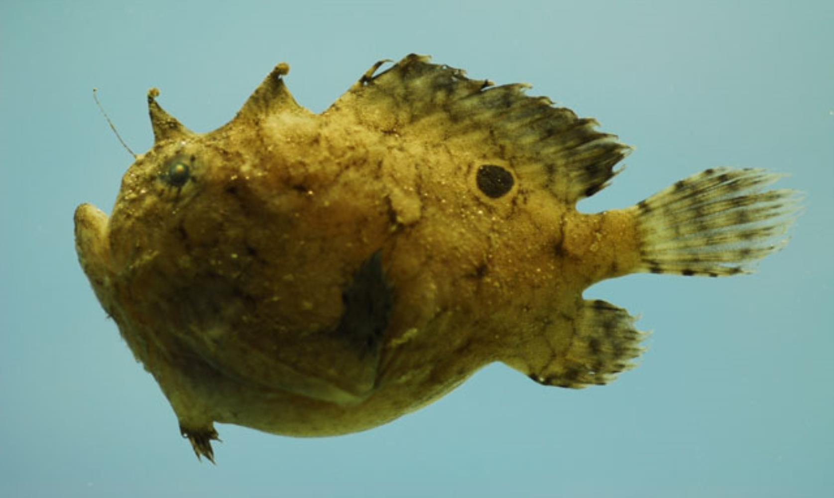 Singlespot frogfish