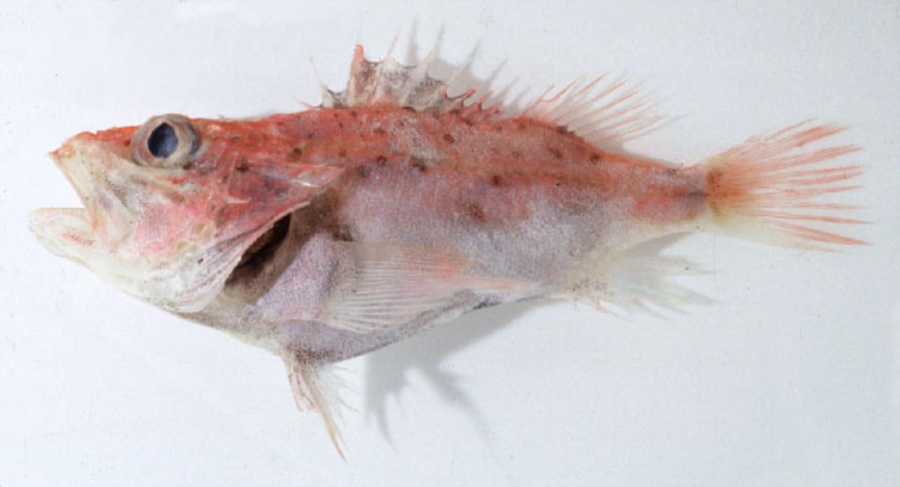 Slender Scorpionfish