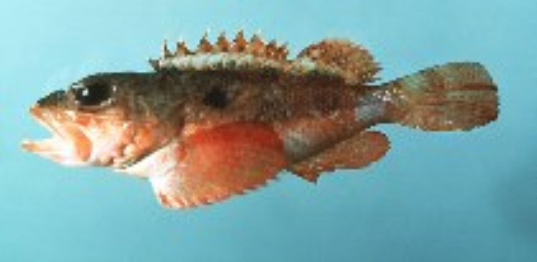 Smooth-head Scorpionfish