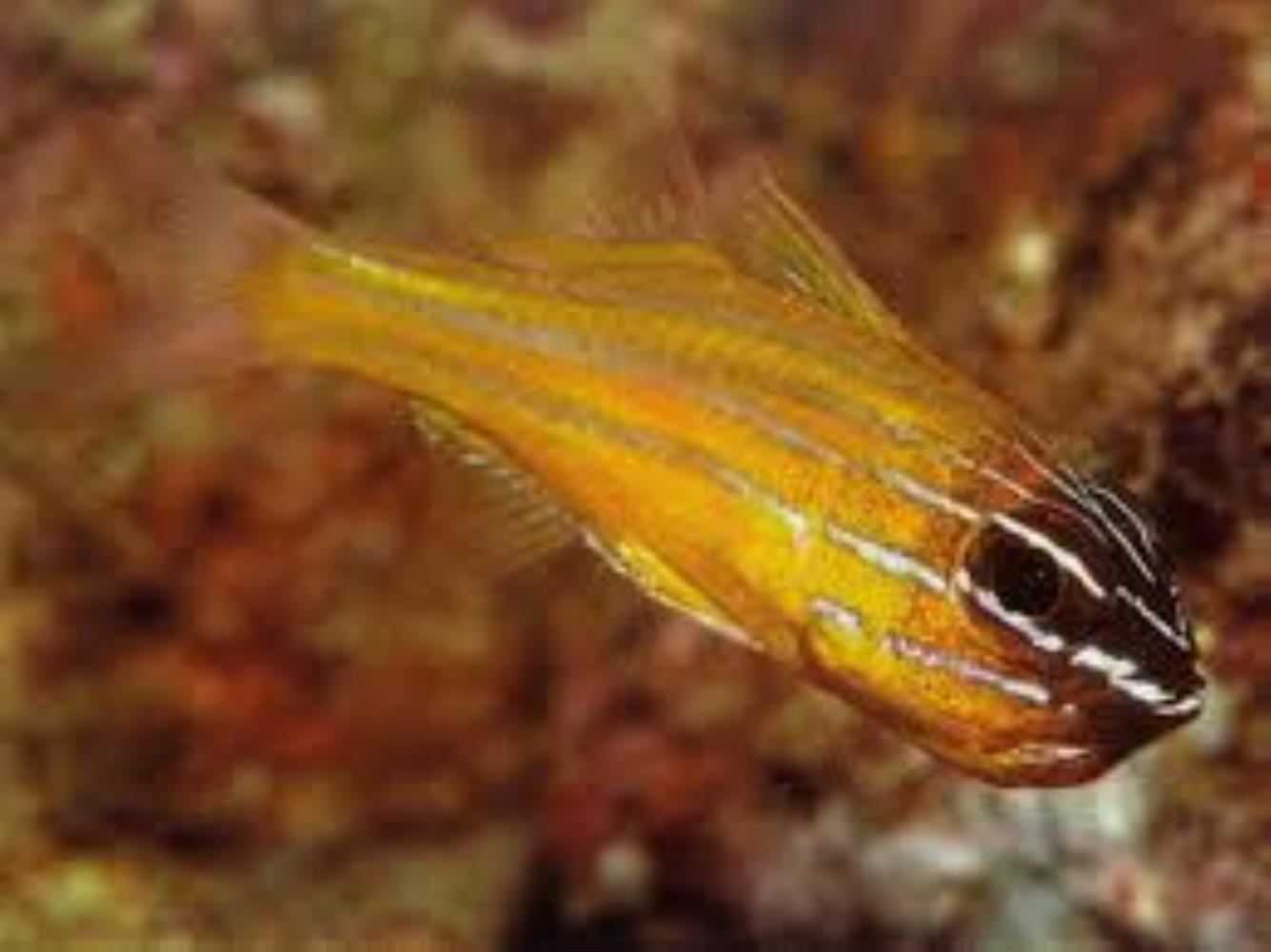 Southern Orange-lined Cardinalfish