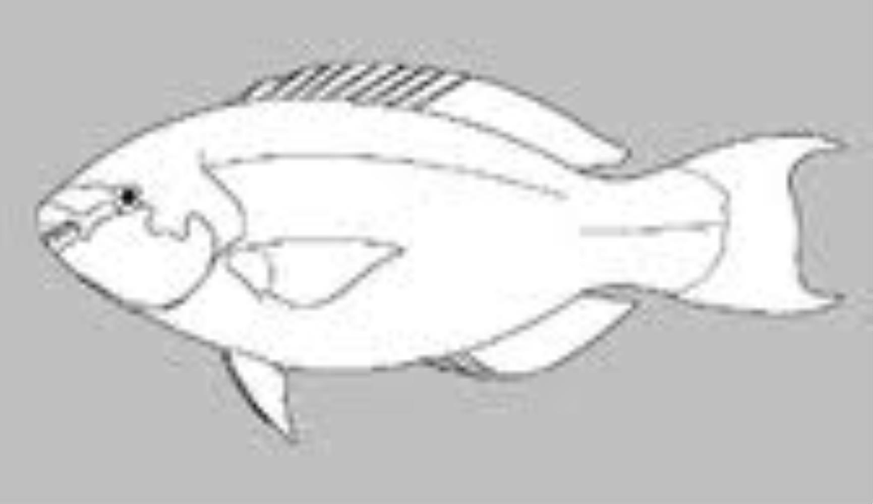 Sparisoma griseorubrum