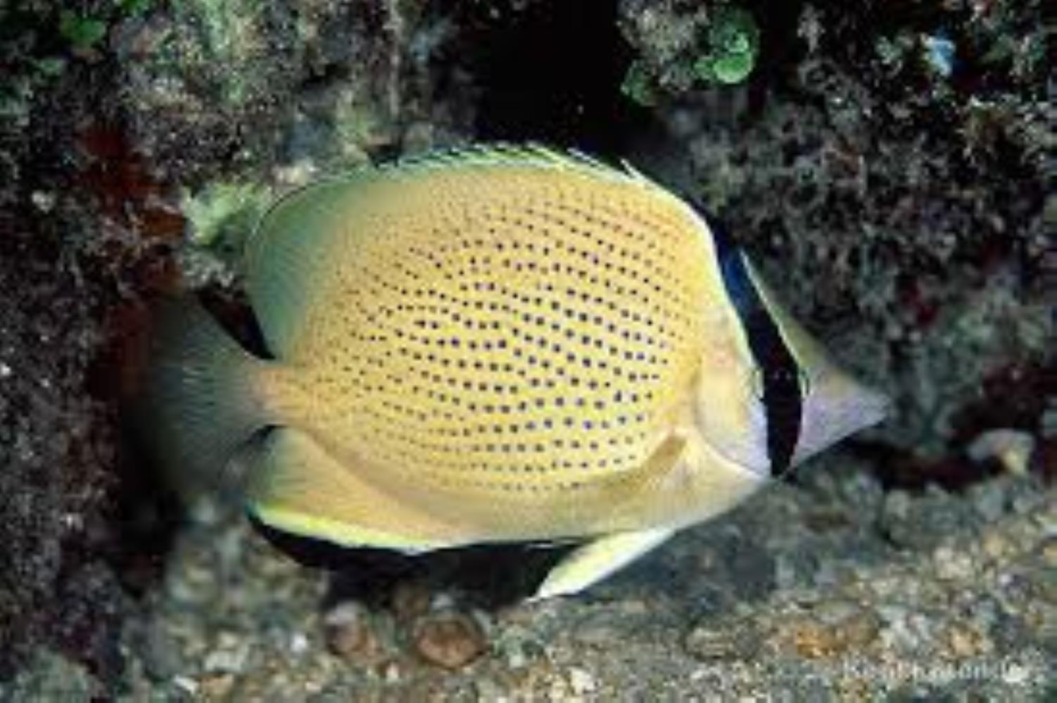 Speckled Butteflyfish