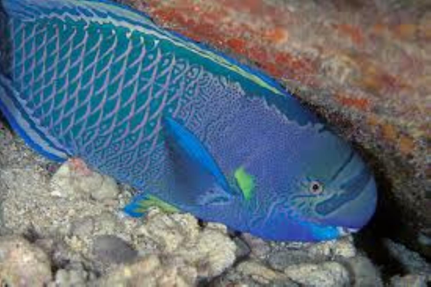 Spectacled parrotfish information and picture sea animals for Parrot fish facts