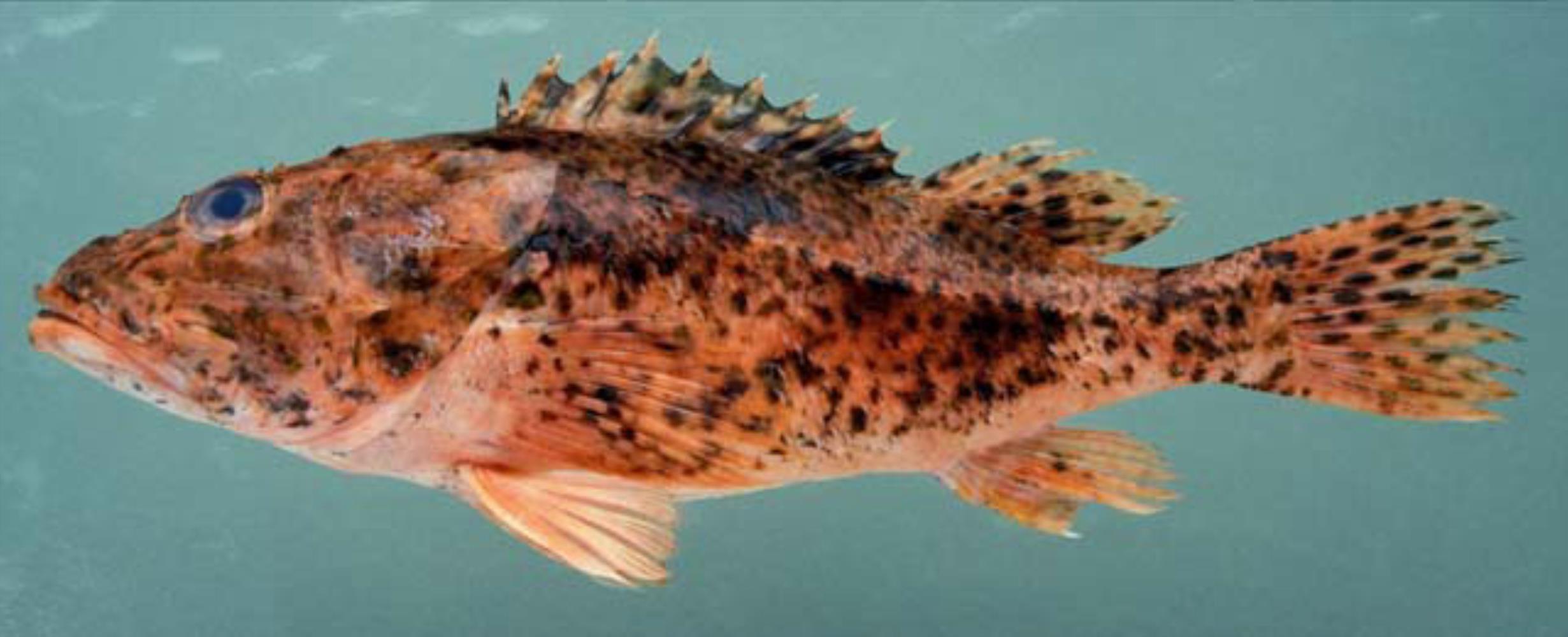 Spinycheek Scorpionfish