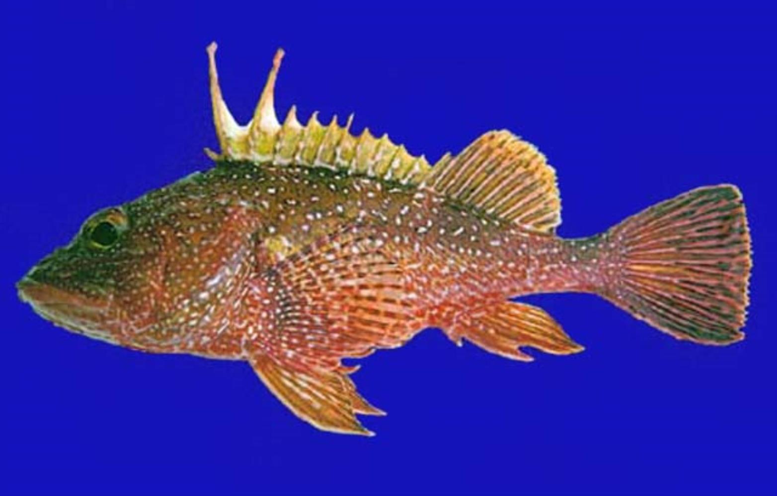 Spotback Scorpionfish