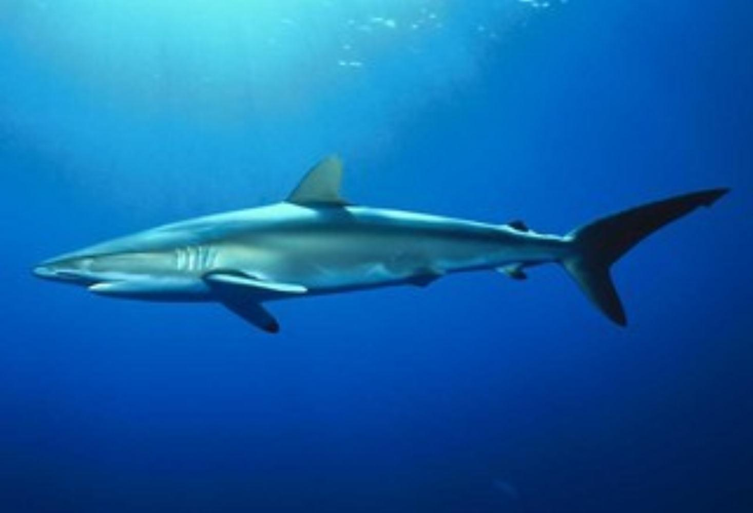 Spottail Shark