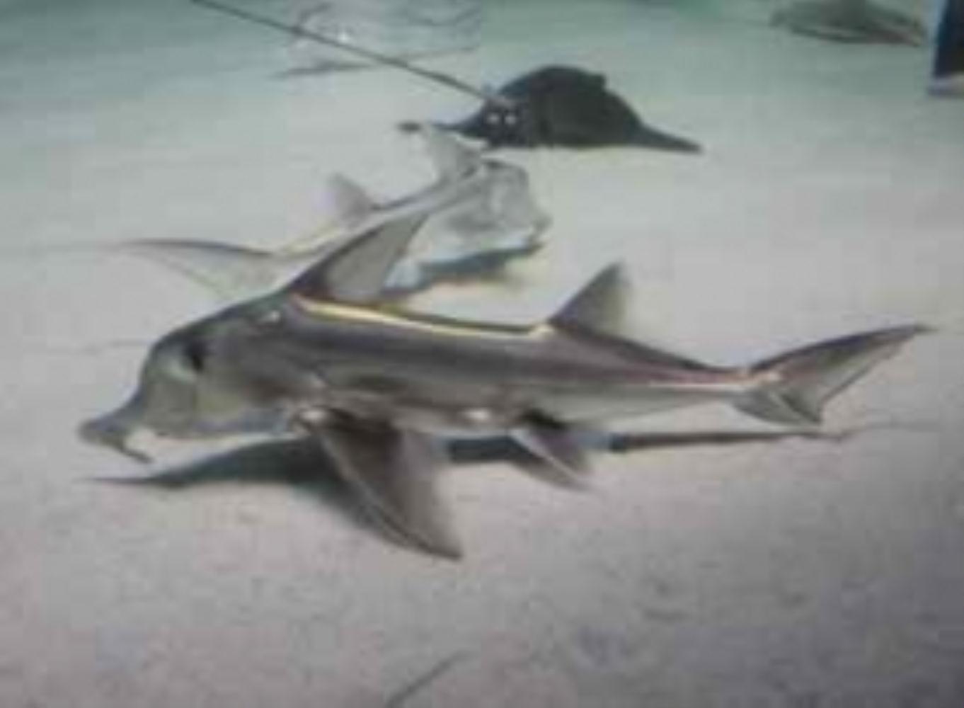 St. Joseph shark
