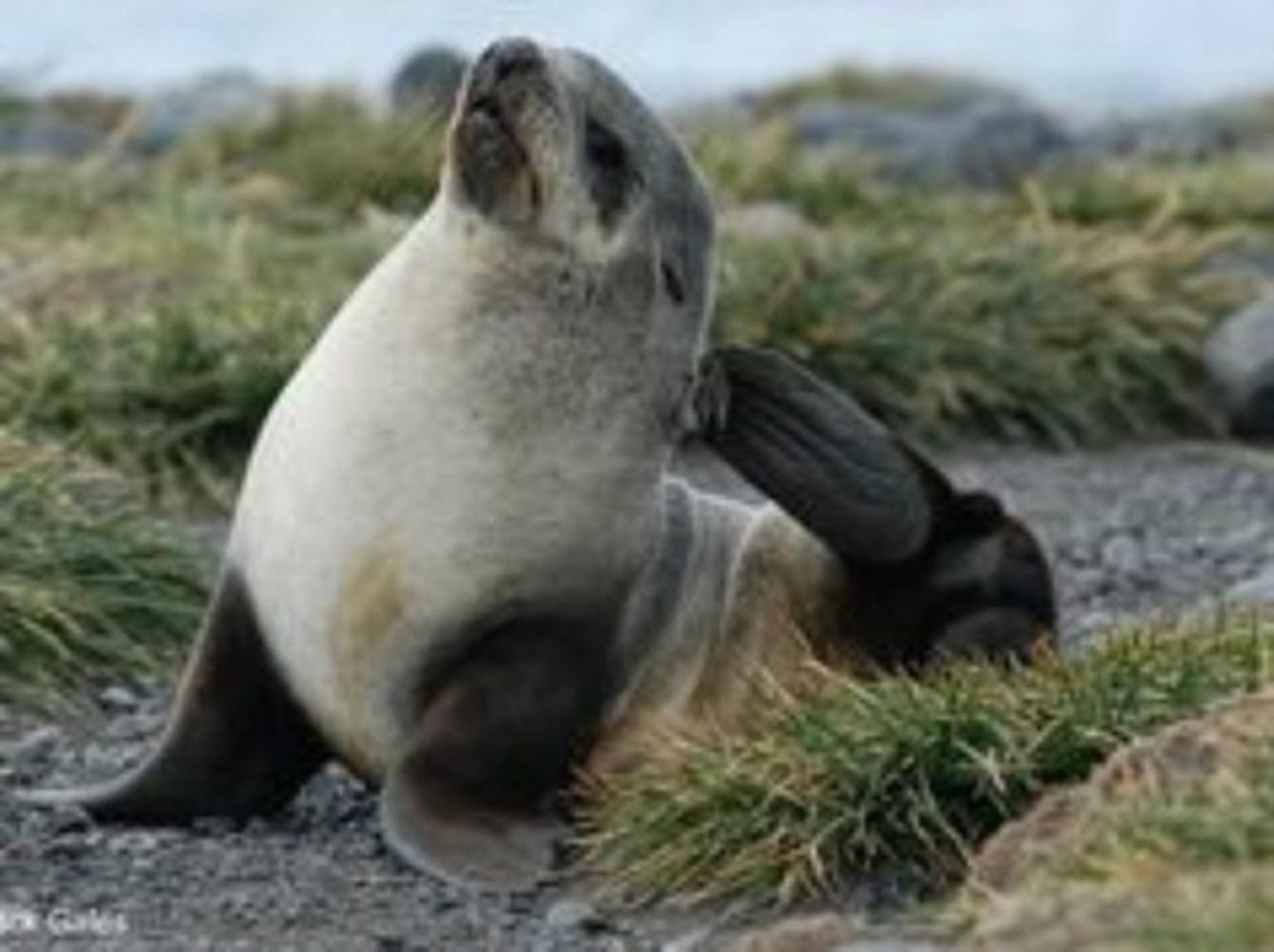 Subantarctic Fur Seal