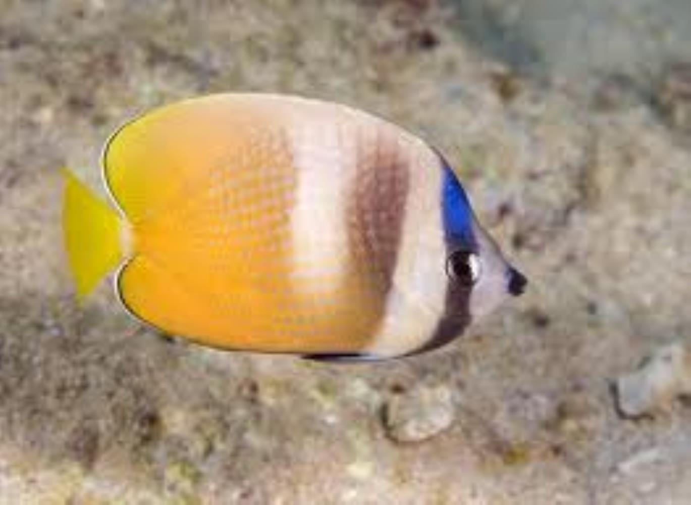 Sunburst Butterflyfish