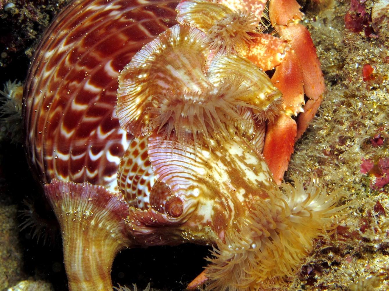 Symbiotic anemone