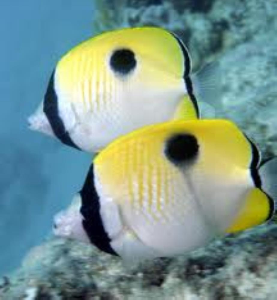 Teardrop Butterflyfish