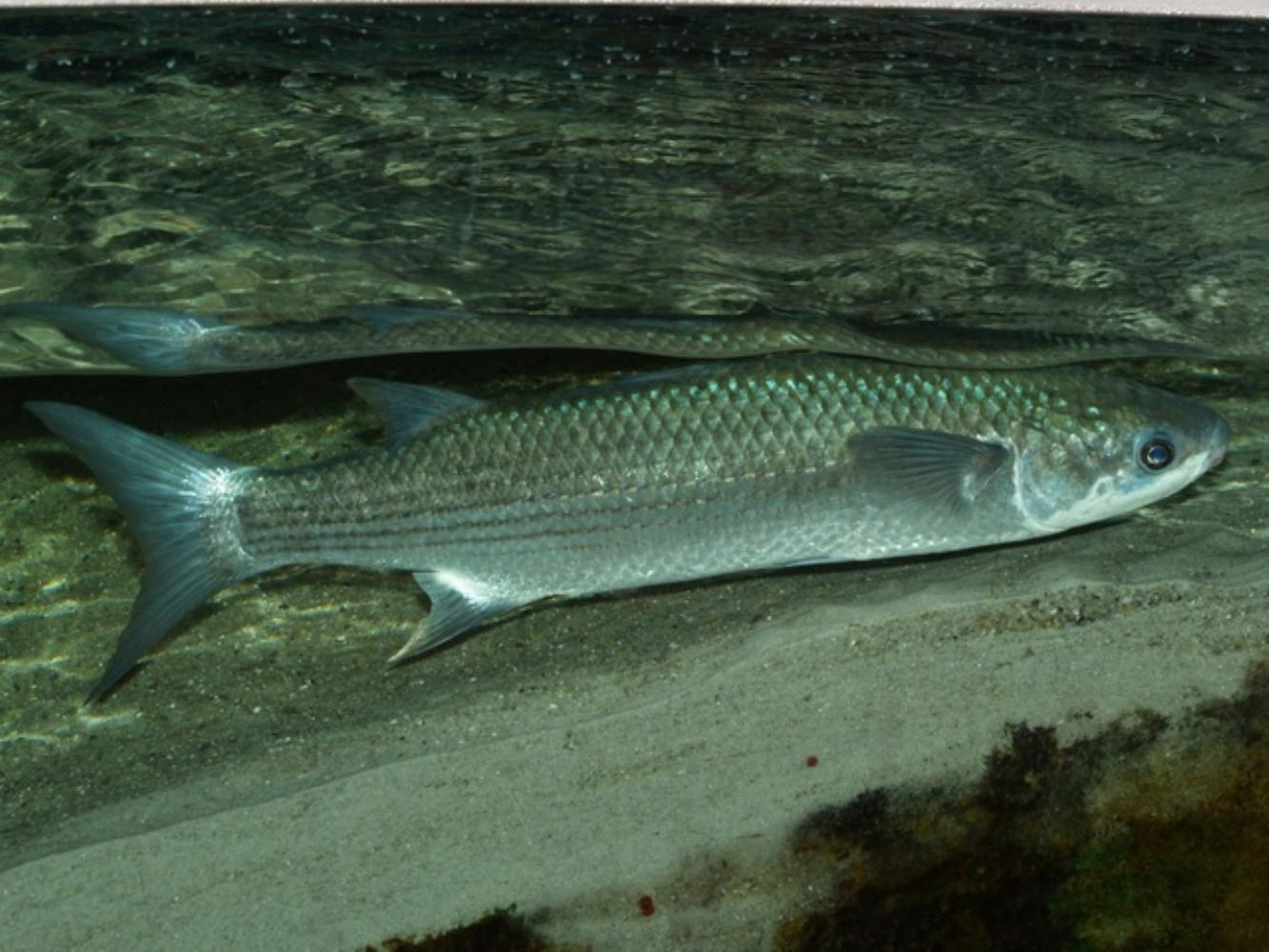 Thick-lipped Grey Mullet