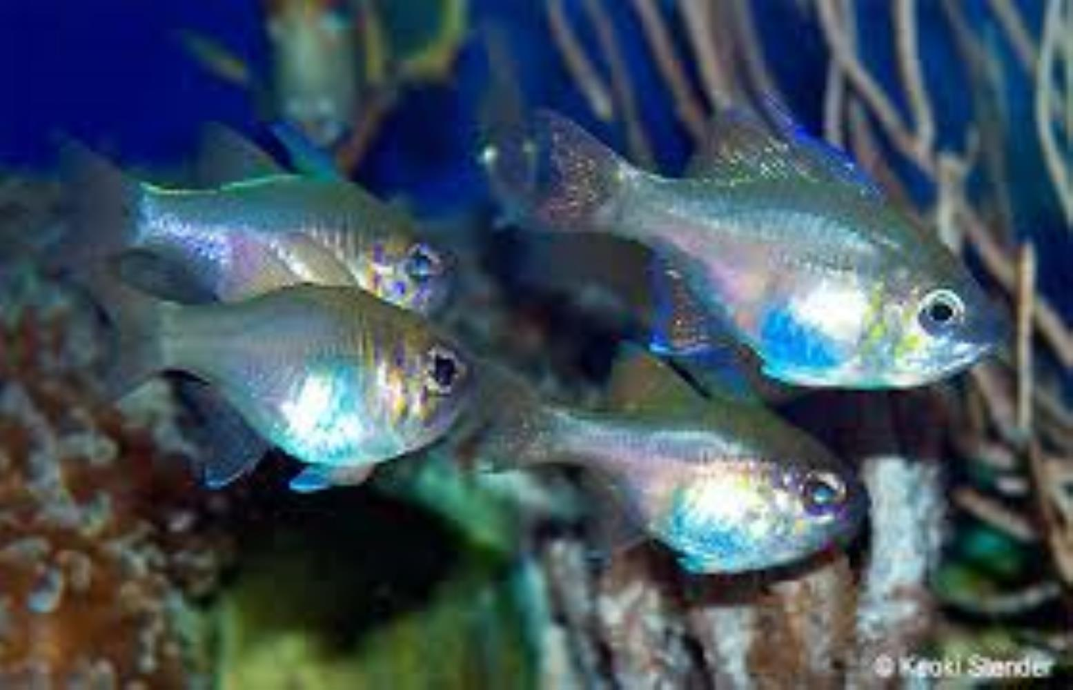 Threadfin Cardinalfish