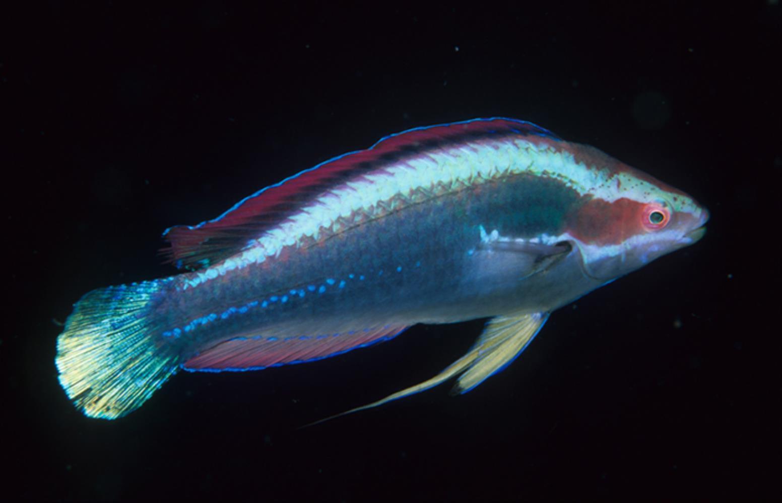 Threadfin Wrasse