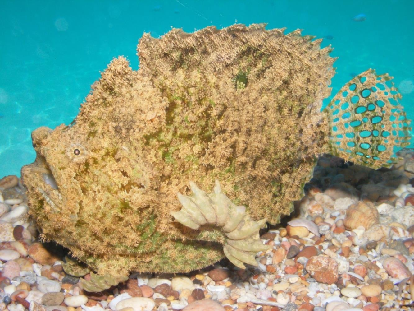 Three-spot Frogfish