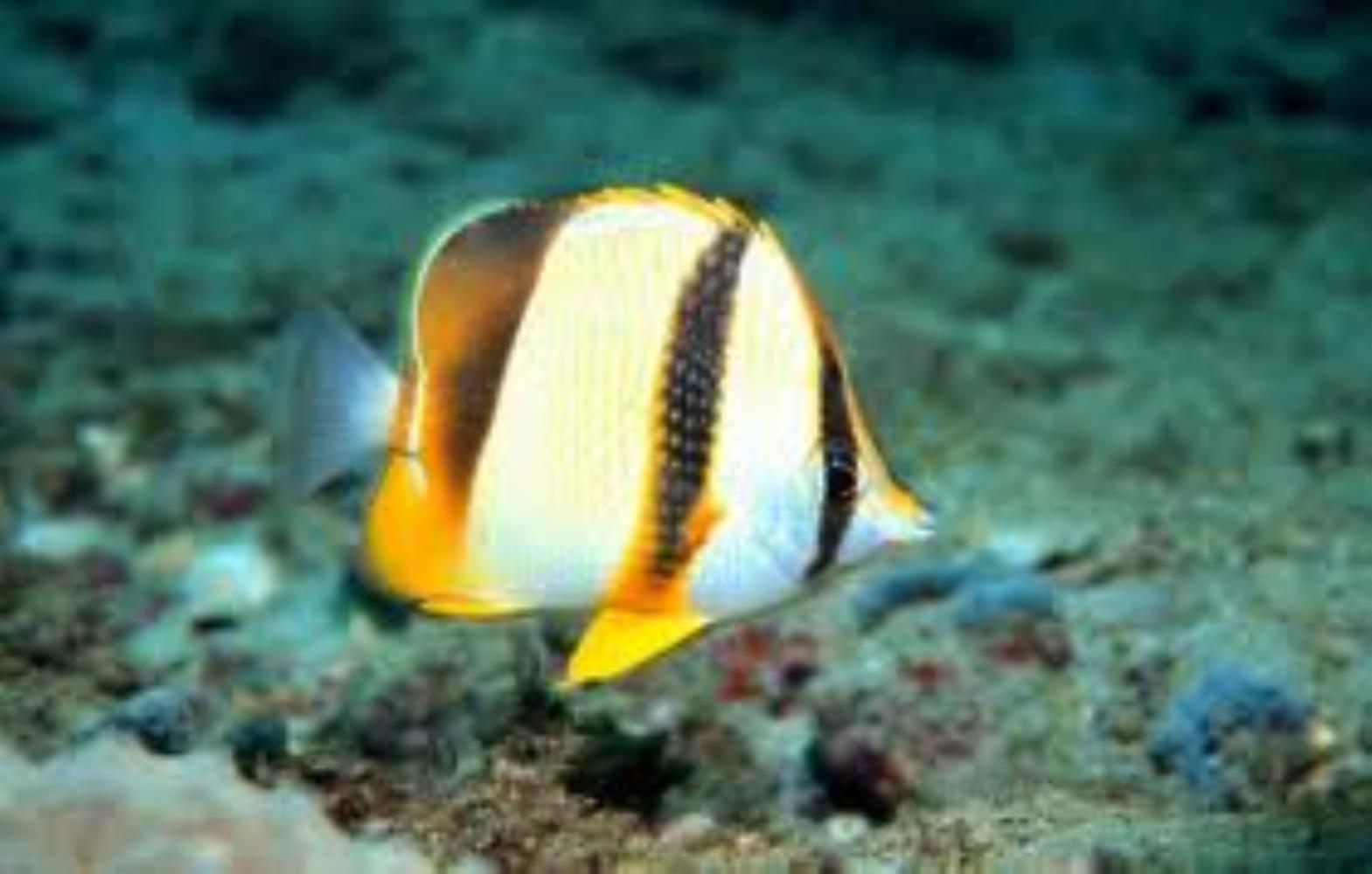 Threeband Butterflyfish