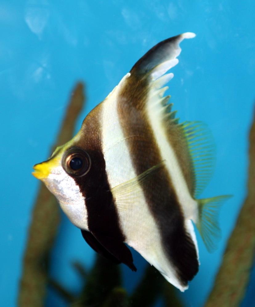 Threeband Pennantfish