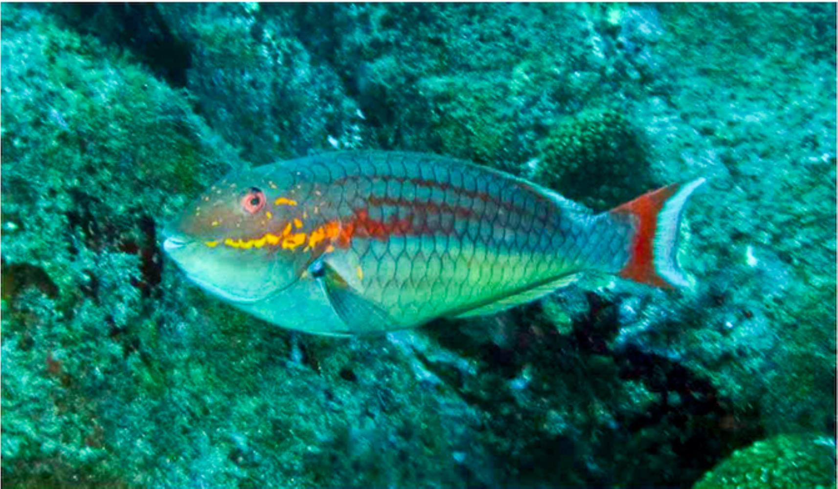 Trindade Parrotfish