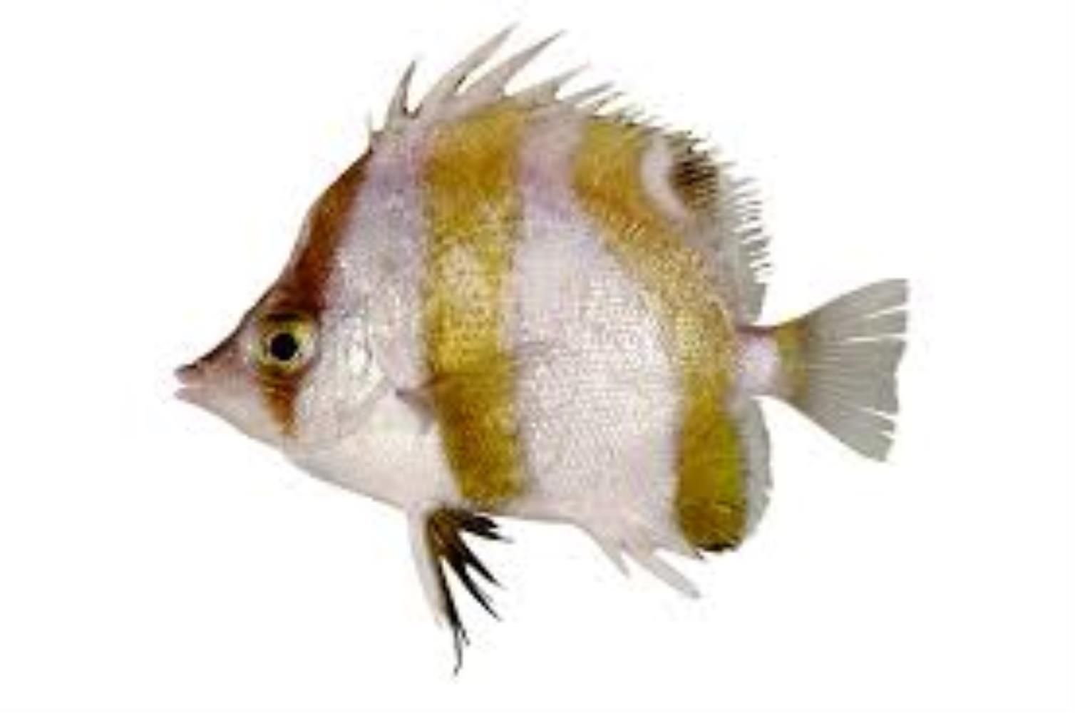 Triple-banded Butterflyfish