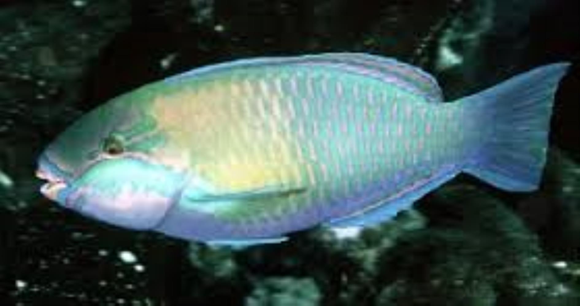 Troschel's Parrotfish
